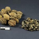noix longues et raisins retrouvés dans les caves du premier Palais