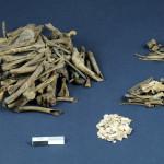 Restes ostéologiques et coquillages d'oeufs provenant des restes de vidange de la latrines de la brasserie Jean Talon